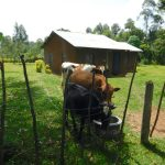 The Water Project: Muyundi Community, Magana Spring -  Cattle Drinking Spring Water