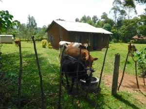 The Water Project:  Cattle Drinking Spring Water