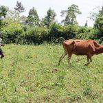 The Water Project: Mukoko Community, Zebedayo Mutsotsi Spring -  Emmanuel Grazing The Cows