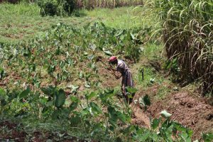 The Water Project:  Mrs Zebedayo Farming