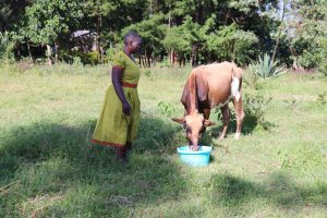The Water Project:  Watering Her Cow