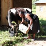 The Water Project: Mukhangu Community, Okumu Spring -  Watering Her Cow That Just Gave Birth