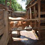 The Water Project: Emuyere Community, Kaikai Spring -  Animal Pen