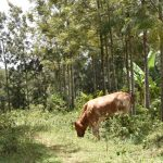 The Water Project: Emuyere Community, Kaikai Spring -  Landscape With Cow Grazing
