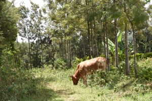 The Water Project:  Landscape With Cow Grazing